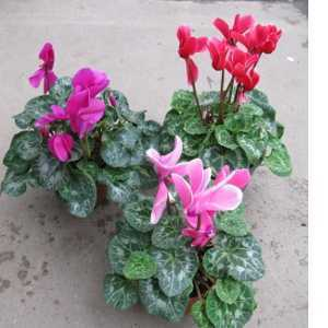 Large Cyclamen Indoor Plant