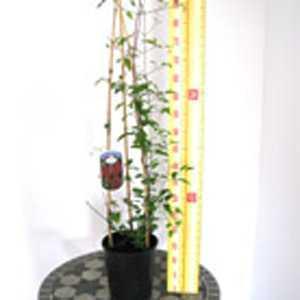 Clematis Allanah (Climber) 3 Litre Pot