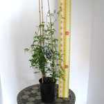 Clematis Broughton Bride (Climber) 3 Litre Pot