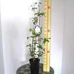 Clematis Belle of Woking (Climber) 3 Litre Pot