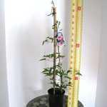Clematis Nelly Moser (Climber) 3 Litre Pot