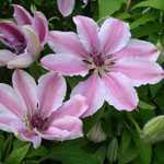 Clematis Nelly Mosser