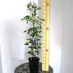 Clematis Juuli (Climber) 3 Litre Pot