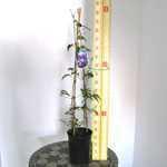 Clematis Ken Donson (Climber) 3 Litre Pot