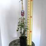 Clematis Red Pearl (Climber) 3 Litre Pot
