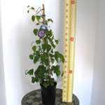 Clematis Dennys Double (Climber) 3 Litre Pot