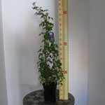 Clematis Macropetala Wesselton (Climber) 3 Litre Pot