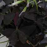 Oxalis Triangularis (Purple Shamrock) 12cm Pot