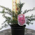 Leptospermum Scoparium Martini (Tea Tree Martini) 3Ltr