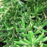 Rosemary (Rosmarinus) Prostratus