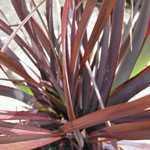 Phormium Bronze Baby (New Zealand Flax)