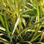 Phormium Apricot Queen (New Zealand Flax) 5Ltr