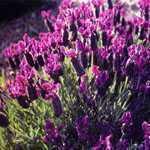 Lavender Regal Splendour Lavander/Lavandula Stoechas French Lavender 3Ltr
