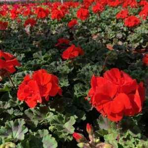 Geranium Potted Red (Summer Bedding) 10.5cm Pot