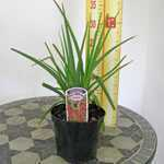 Kniphofia (Red Hot Poker/Torch Lily) 1Ltr