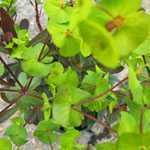 Euphorbia Amygdaloides Purpurea (Wood Spurge)