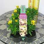 Osteospermum Margarita 3D Yellow