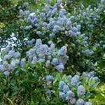 Ceanothus Blue Mound (Californian Lilac)