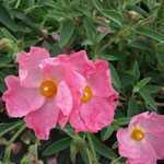Cistus Silver Pink (Rock Rose)