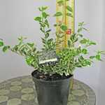Euonymus Fortunei Silver Queen (Spindle Silver Queen)