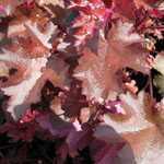 Heuchera Chocolate Ruffles (Coral Bells) 3Ltr