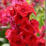Phlox Red Flame 3 Ltr