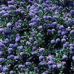Ceanothus Thyrsiflorus Skylark (Californian Lilac)