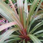 Cordyline Australis Peko (Cabbage Tree) 3 Ltr