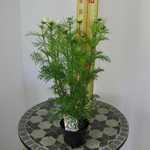 Cosmos (White) 13cm Pot