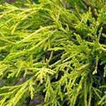 Chamaecyparis Pisifera Filifera Aurea (Sawara Cypress) 3Ltr