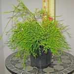 Chamaecyparis Pisifera 'Filifera Aurea' (Sawara Cypress)