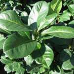 Prunus Laurocerasus Etna (Laurel) Hedging 50-60cms 1Ltr