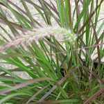 Pennisetum Set. Rubrum Compact (Purple Fountain Grass)