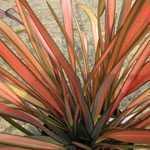 Phormium Flamingo (New Zealand Flax)