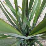 Phormium Tenax (New Zealand Flax) 5Ltr