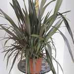Phormium Tenax Pink Stripe (New Zealand Flax)