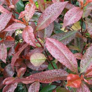Photinia  x Fraseri Red Robin Hedging 80-100cm 10ltr Pot  - 20 Plants
