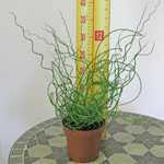 Juncus Effusus Spiralis (Corkscrew Rush) 12cm