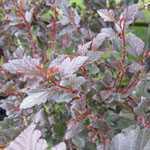 Physocarpus- Opulifolius