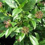 Viburnum Tinus (Laurestine)