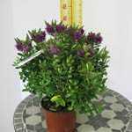 Hebedonna Diana 2 Ltr Pot