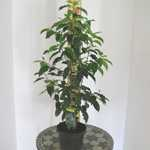 Portuguese Laurel Hedging Prunus Lusitanica  60cm  3.5ltr