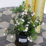 Pernettya Mucronata (Prickly Heath) White 9cm Pot