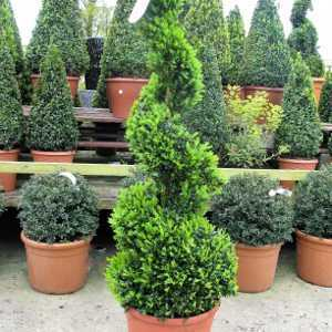 Buxus Sempervirens Spiral (Box Hedge) Set Of 2 Plant Height 120cm 15 Litre Pot