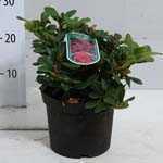 Rhododendron Dwarf 'Scarlet Wonder'