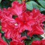 Rhododendron Dwarf Scarlet Wonder 3Ltr