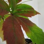 Parthenocissus Quinquefolia Virginia Creeper