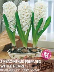 Hyacinth Prepared Bulbs White Pearl 3 Per Pack