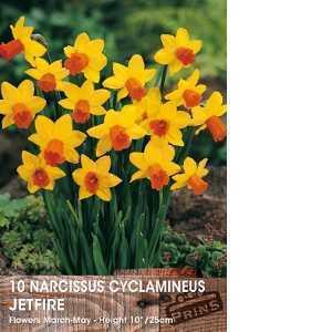 Narcissus Cyclamineus Bulbs Jetfire (Daffodil) 10 Per Pack