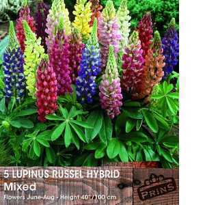 Lupins Lupinus Russell Hybrid Mixed Colour Pre-Pack Perennials 5 Per Pack